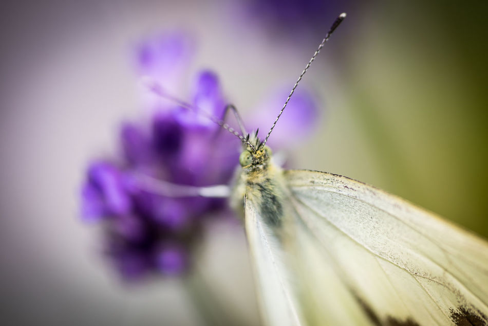 Butterfly on lavender Anmial Beautiful Butterfly Close-up Insect Lavender Lavenderflower Macro Nature