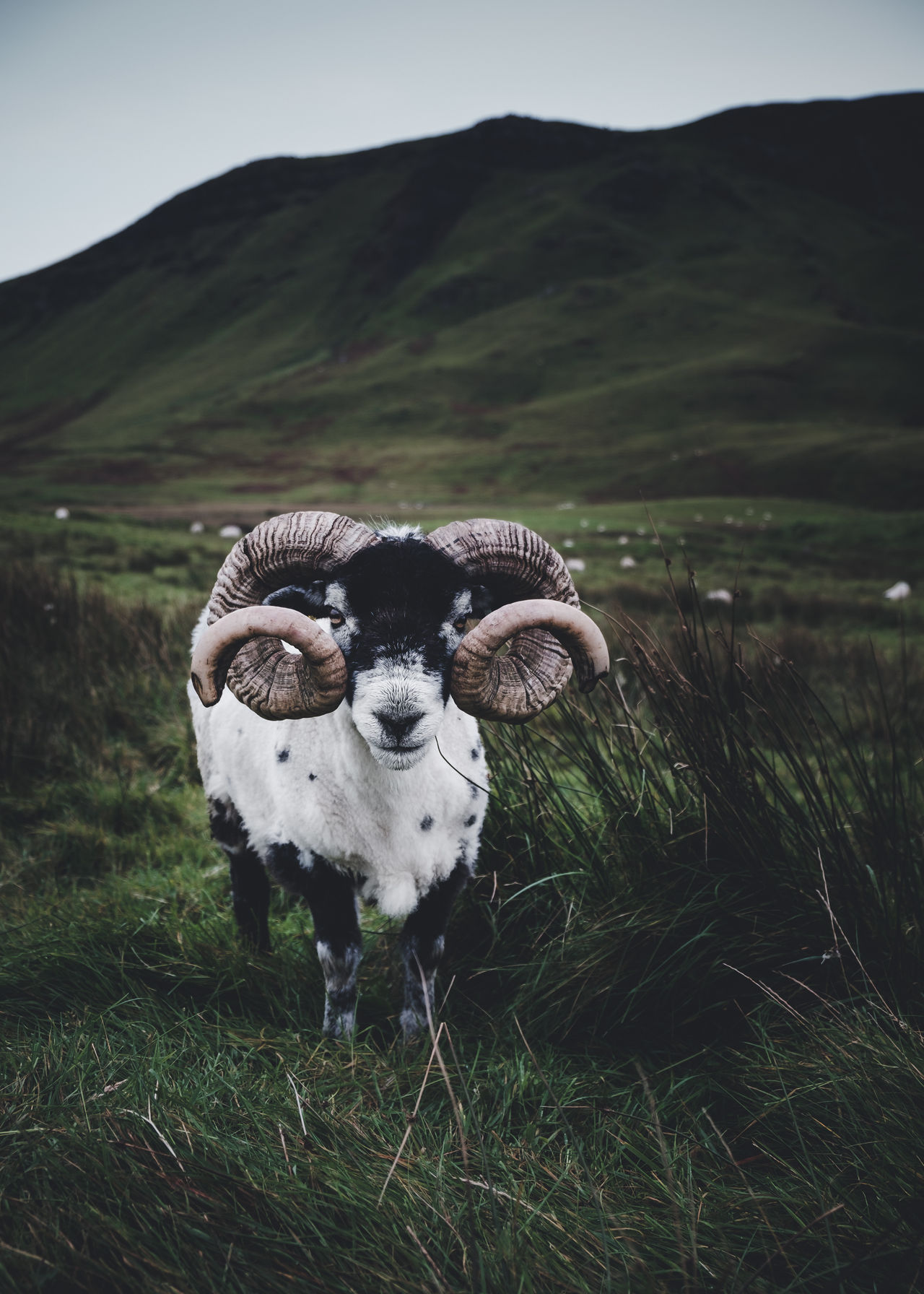 Gentle guy. Okay - his horns could be dangerous but he was very kind to me. Location: Isle Of Skye, Scotland Equipment: Fujifilm X-T1 + XF18-55 www.instagram.com/nils_leithold Agriculture Animal Themes Animals In The Wild Day Eye Face Fujifilm Goat Grass Green Horn Horned Horny ☜ Isle Of Skye Landscape Mammal Mountain Nature No People Outdoors Plant Portrait Scotland Sheep Sky