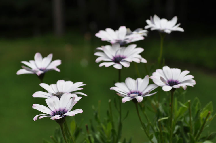 White and Purple African Daisy Osteospermum Flowers African Daisies African Daisy Beauty In Nature Blooming Close-up Flower Flower Head Fragility Freshness Growth Nature No People Osteospermum Outdoors Petal Plant Purple