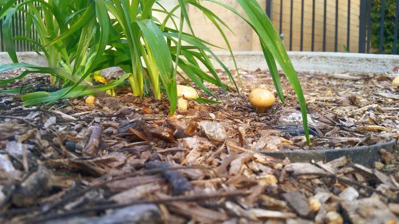 leaf, outdoors, day, nature, growth, plant, food and drink, no people, food, grass, close-up, freshness, crocus