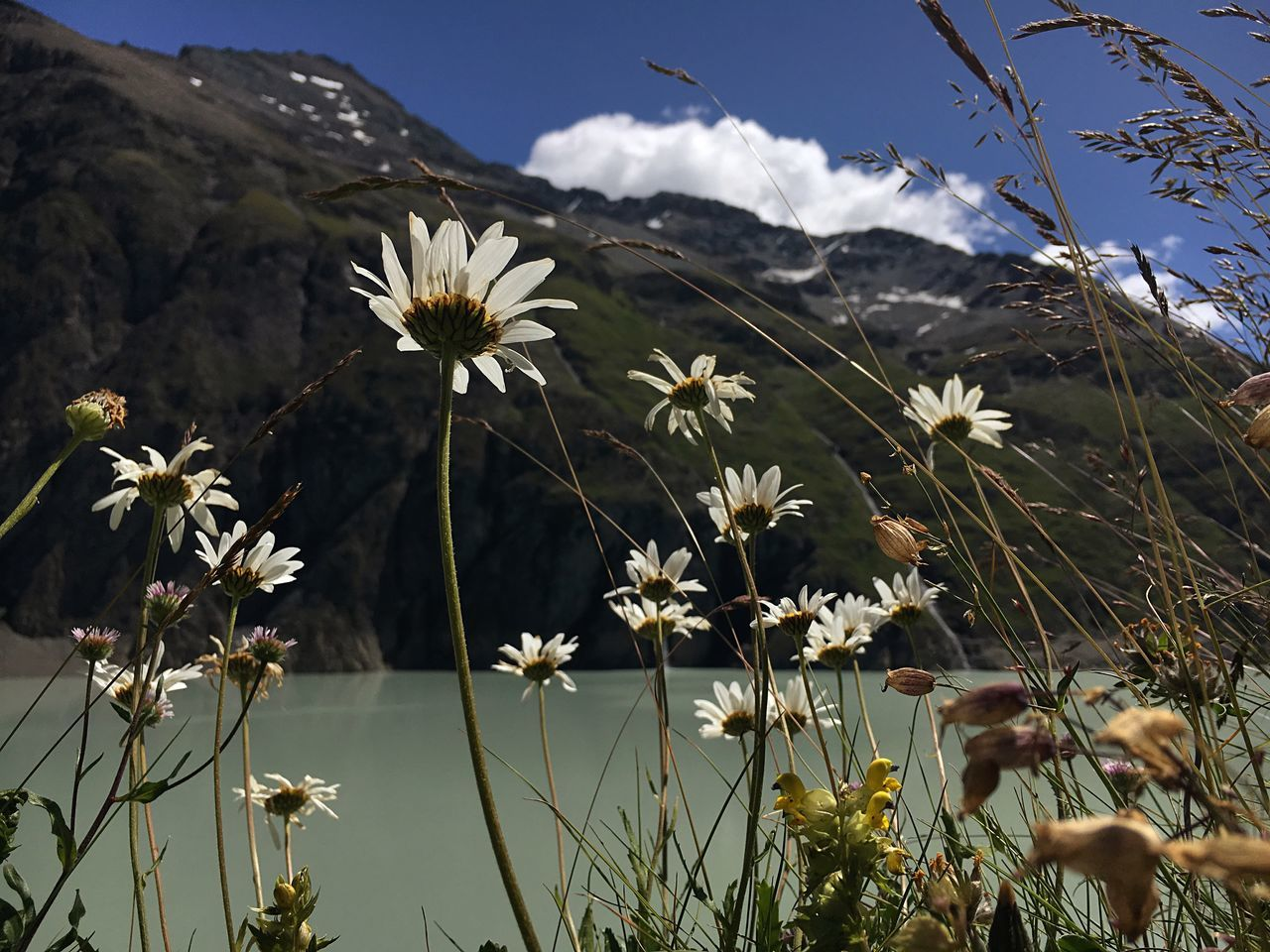 Flower Fragility Growth Plant Freshness Beauty In Nature Daisy Nature Stem Close-up Sky Mountain Switzerland Lac Des Dix High Altitude Col Des Roux 2800metrs Wildflower Petal Blooming Flower Head Cloud Cloud - Sky Water Wildflower