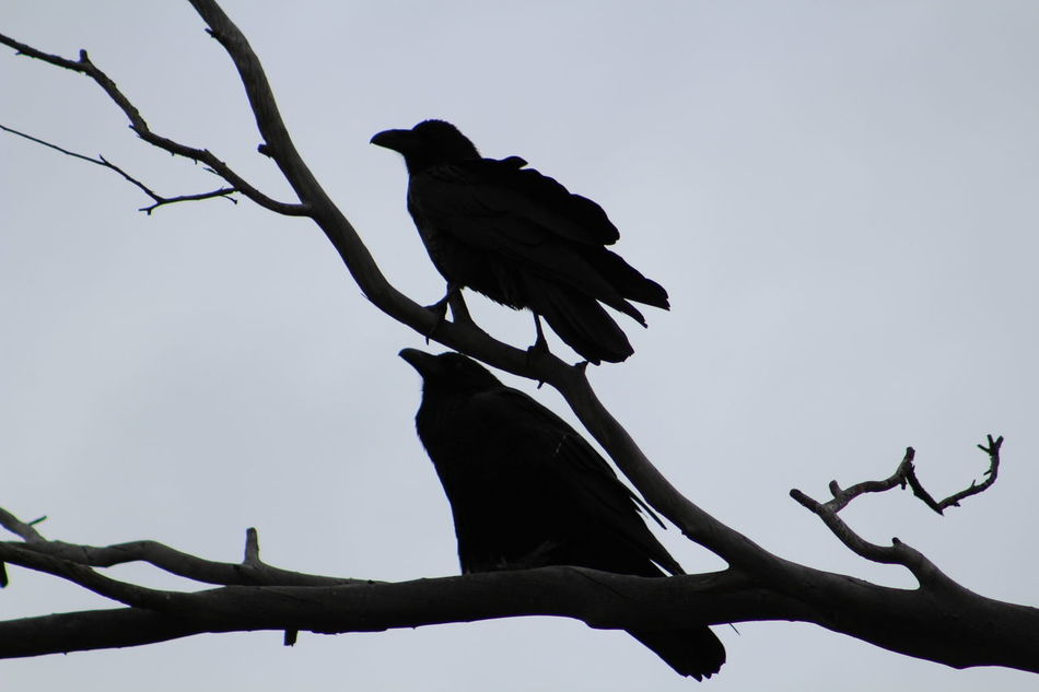 Animal Animal Themes Animals In The Wild Balance Beak Beginnings Bird Close Up Close-up Day Feather  Focus On Foreground Growing Growth Negative Space No People One Animal Perching Side View Sonoran Ravens Spooky Wildlife Zoology