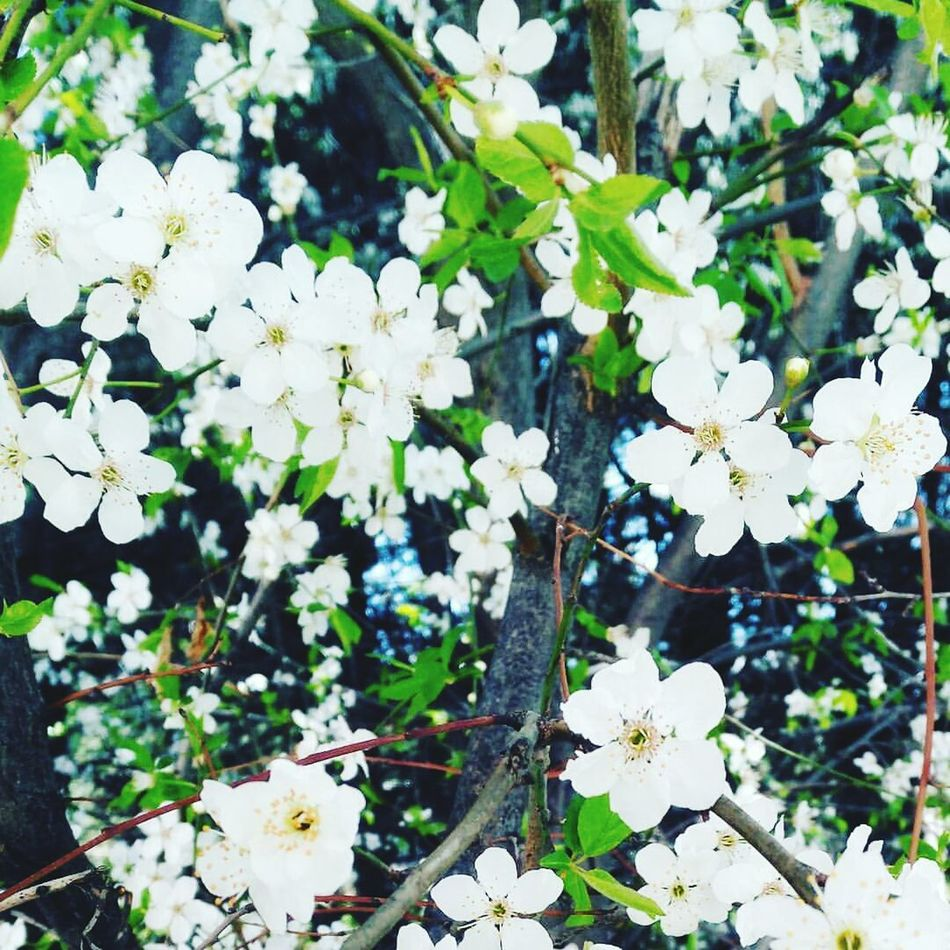 Nature Growth White Color Beauty In Nature Flower Plant Freshness Fragility Outdoors No People Leaf Day Close-up Flower Head Turkey Ilkbahar Türkiye Nature Vodafone Smart Ultra 6 Burdur