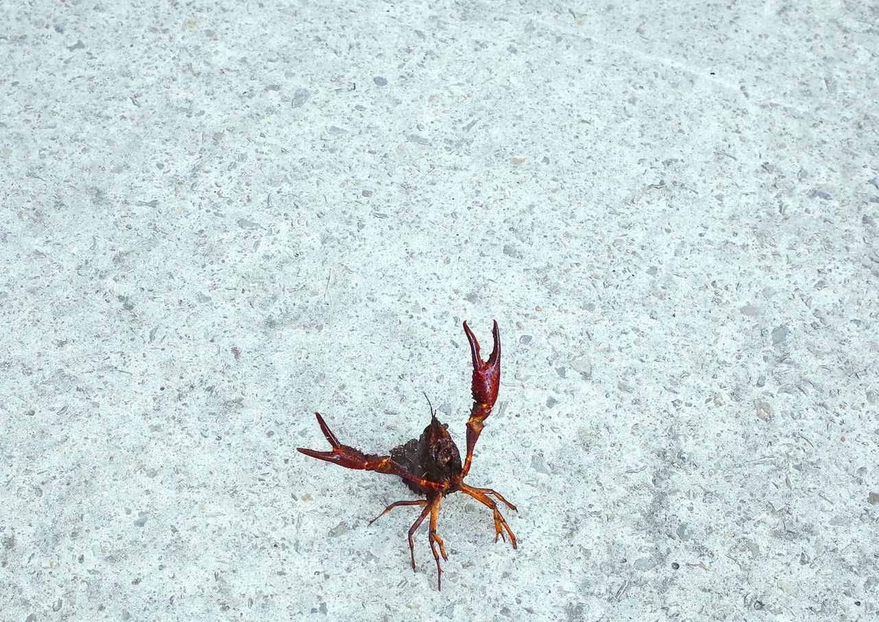 krab Attention Crab Crustacean SHELLFISH animal animal themes Animals in the Wild high angle view Nature one animal outdoors sea life