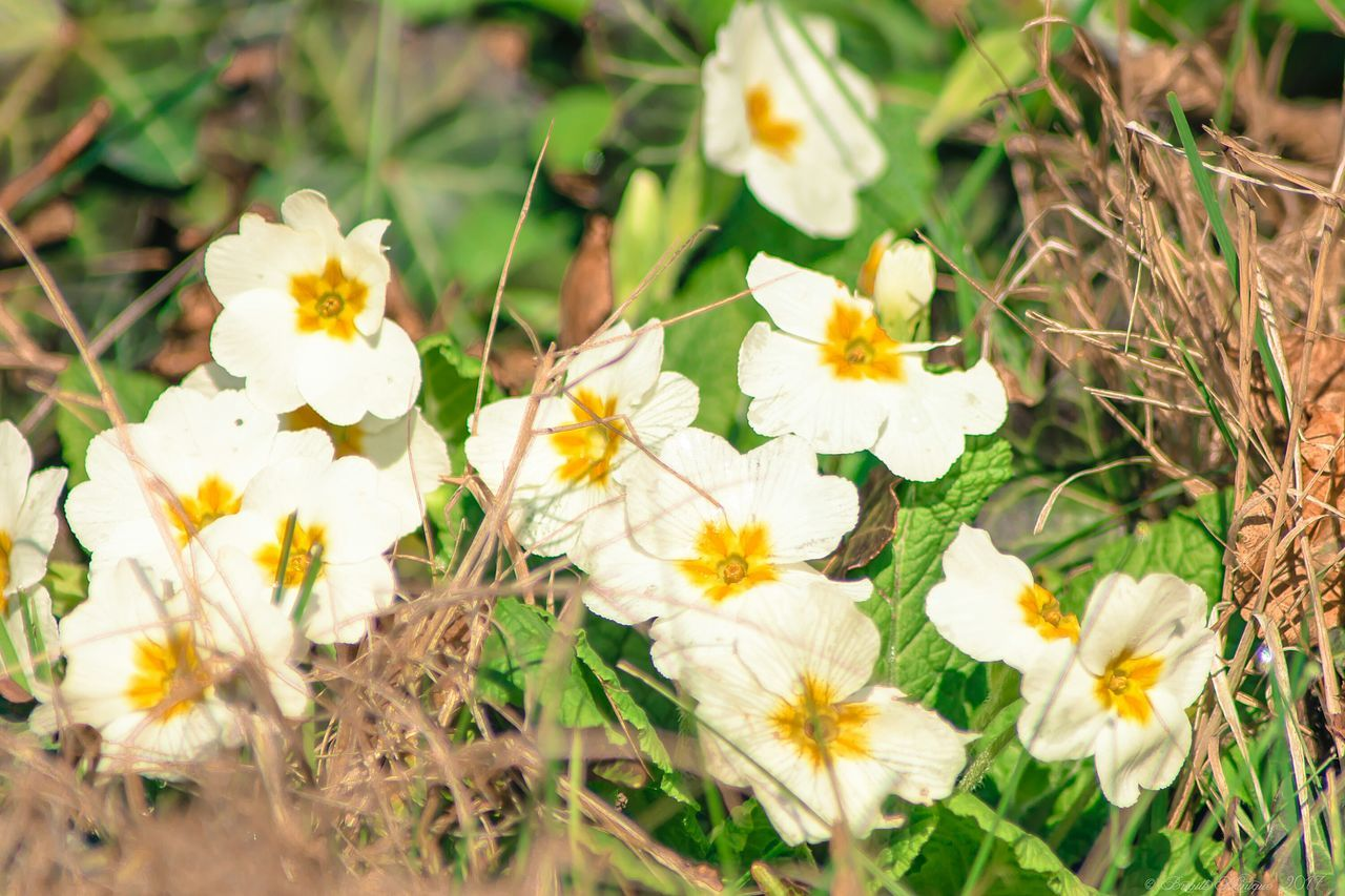 Primrose Flower Nature Beauty In Nature Yellow Plant Growth Fragility Freshness Petal Flower Head No People Outdoors Blooming Day Close-up Springtime EyeEm Nature Lover Eye4photography  Nature_collection Beautiful Nature I Love Nature EyeEm Flower Flowers Of EyeEm