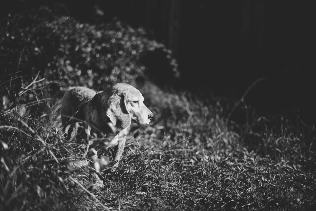 Animal Themes Beagle Beagle Love Day Dog Lifestyle Dog Photographer Dog Photography Dog Portrait Dog Portraiture Grass Heart Dog Landscape Mammal My Heart Nature No People Outdoors Pet Lifesty Pet Photographer Pet Photography  Pet Portraits Pet Portraiture Walking