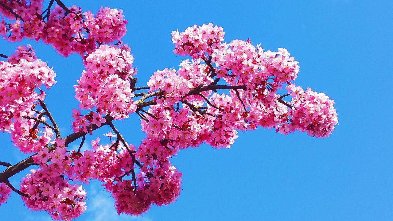 TakeoverContrastLooking Up Through The Trees Pink Flowers Pink Blossoms Pink And Blue Spring Has Arrived Spring 2016 Spring Colours Patterns In Nature Pattern Pieces Environmentalist Environmental Photography Soaking Up The Sun In The Sunshine Sunlight Falling On Flowers Pink Pastel Power Pastel Colors Colour Of Life