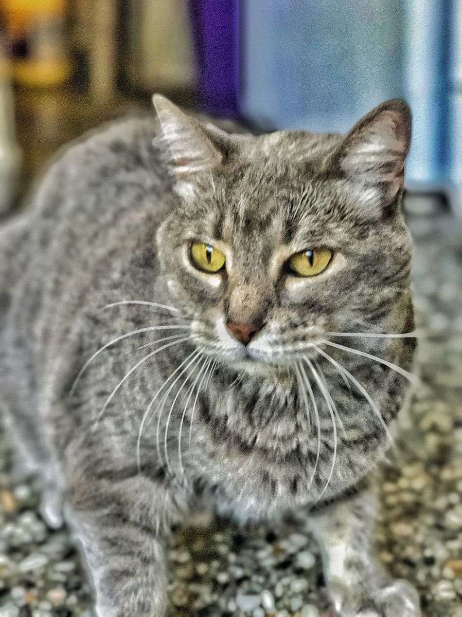 Domestic Cat Pets Domestic Animals One Animal Focus On Foreground Animal Themes Feline Looking At Camera Whisker Mammal No People Portrait Yellow Eyes Close-up Day Outdoors Black And White Blackandwhite Black & White Blsckandwhite Black And White Photography