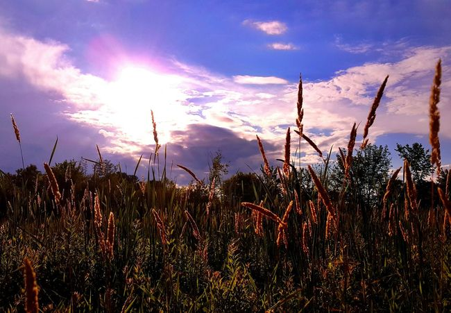 Good Morning! Growth Sky Grass Tranquility Tranquil Scene Scenics Field Plant Beauty In Nature Nature Sunlight Cloud Reed - Grass Family Sunbeam Close-up Sun Landscape Non-urban Scene Lens Flare Cloud - Sky