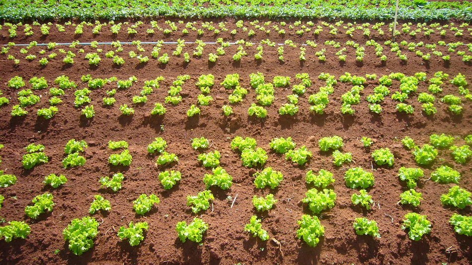 Agriculture Beauty In Nature Close-up Crop  Cultivated Day Farm Field Flowerbed Freshness Green Color Growth In A Row Nature No People Outdoors Plant Planting Plowed Field Rural Scene Vegetable