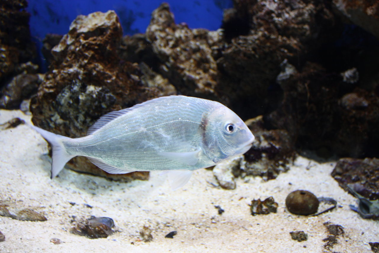 one animal, animals in the wild, animal themes, sea life, animal wildlife, fish, underwater, rock - object, no people, undersea, nature, sea, aquarium, close-up, water, day, outdoors