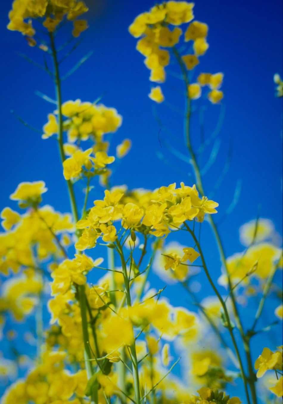 Reversalfilm Film Photography Pastel Power Blooming Field Mustard Yellow Spring EyeEm Nature Lover EyeEm Best Shots Sky