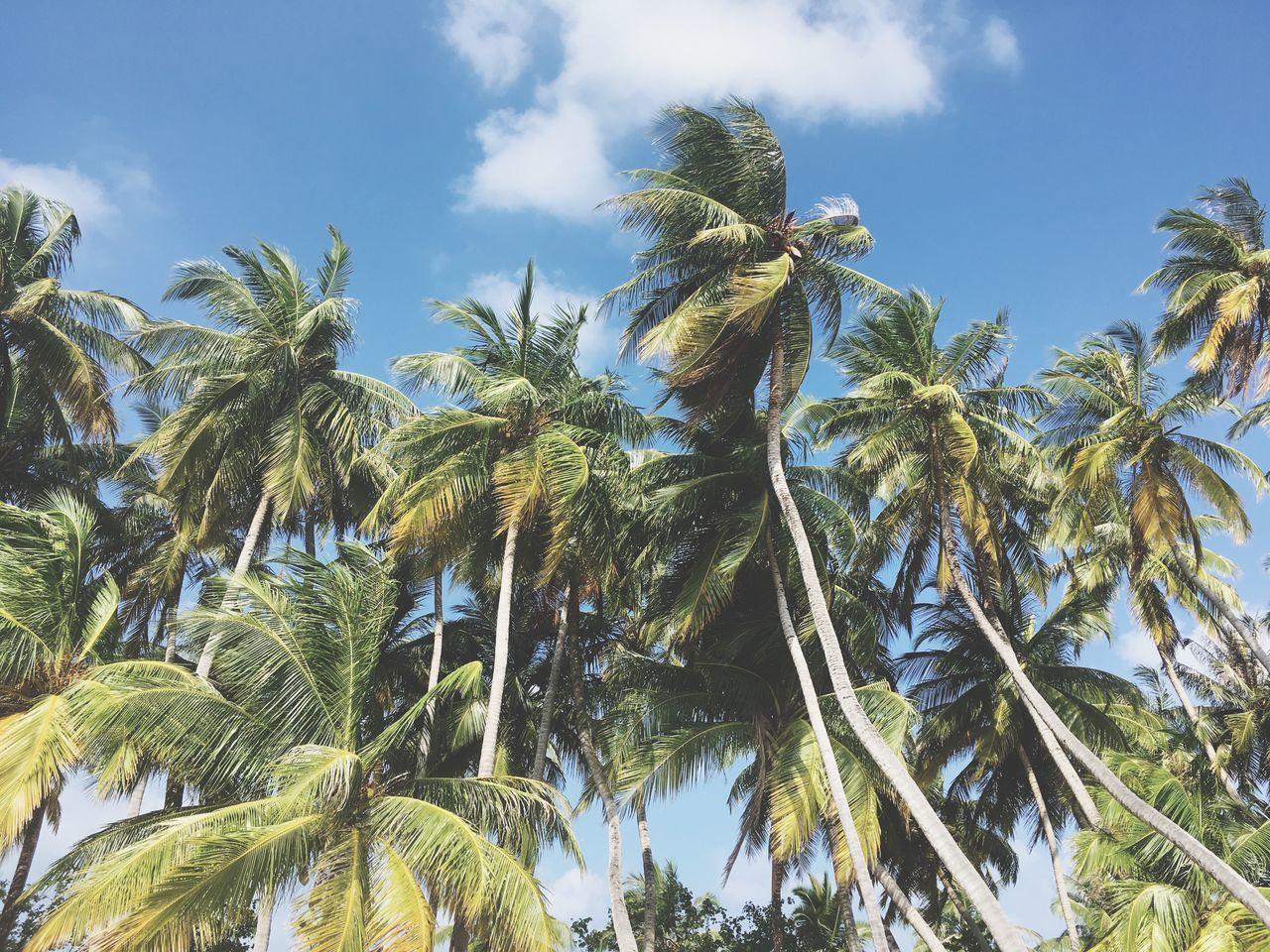Maldives Growth Palm Tree Tree Low Angle View Nature Green Color Sky No People Day Outdoors Beauty In Nature Agriculture