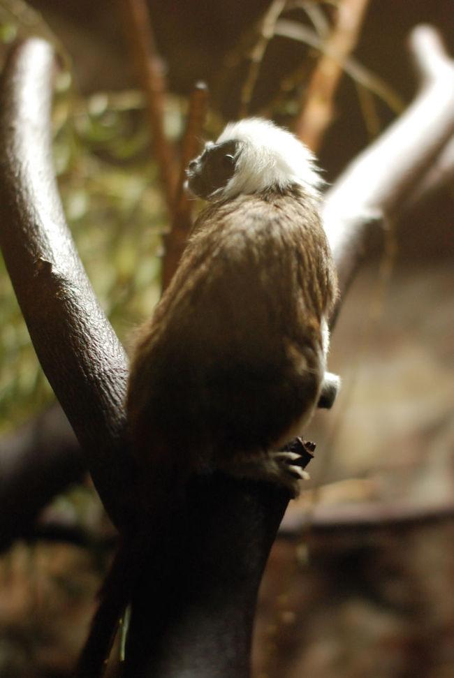 ワタボウシタマリン。小さいのにカッコイイ。Animal Zoo Zoo Animals  Manky