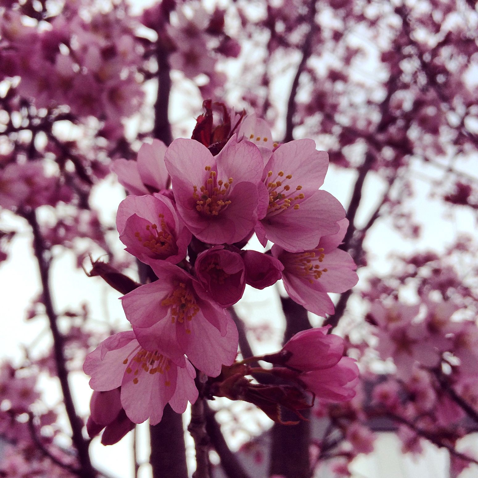 Cherry Blossoms Pink Flower Pink