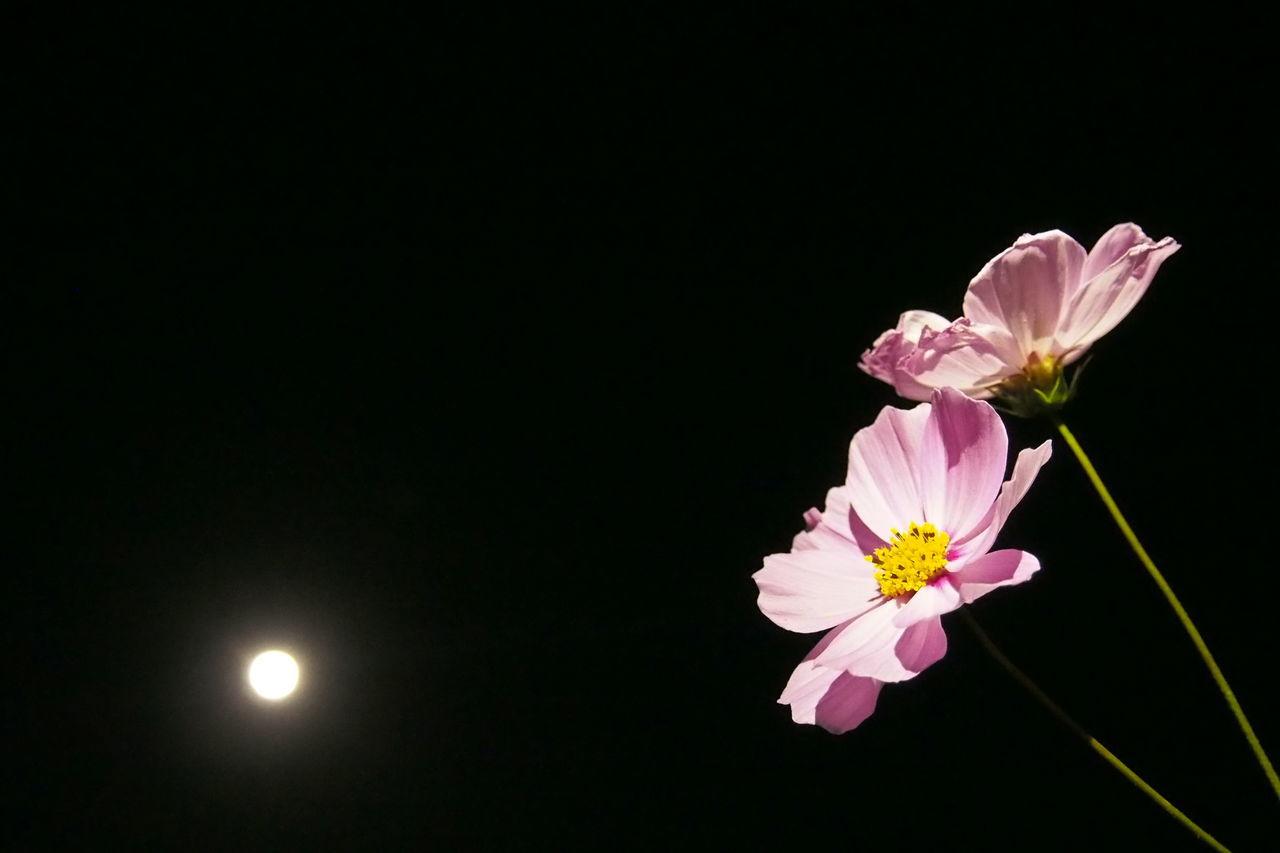 十三夜の月と秋桜。 Photo Cosmos Moon