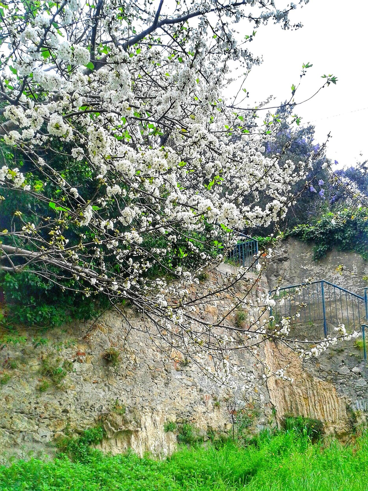 """""""Fioritura"""". Fioritura Blooming Blossom Trees Urban Spring Fever Spring Is Coming  White Flowers Walking Around in My Neighbourhood Mobile Photography with Smartphone Photography S3mini Camerazoomfx in HDR shooting mode Exposure Bracketing Perfectly Clear"""