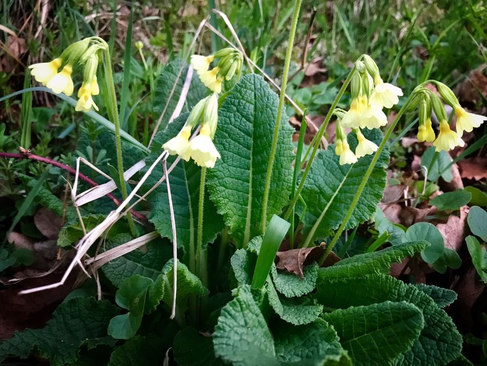 Primrose or cowslip Primrose Cowslip Growth Plant Green Color Nature Leaf Field Outdoors No People Day Close-up Flower Beauty In Nature Freshness Flower Head