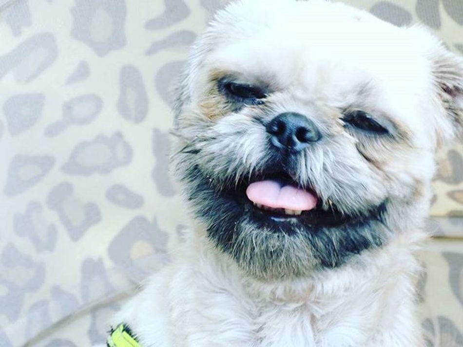 Keep smiling :) Hund Hunde Hundeliebe Shihtzulove Shihtzulovers Shihtzu Ilovemydog Doglover Dogsofinstagram Shihtzugram Instagram Instagramde Photooftheday Picoftheday Pic Of The Day Photography Photo Photo Of The Day POTD Sonycybershothx300 Sonycybershot Sony Socute Iloveit Like pets pet
