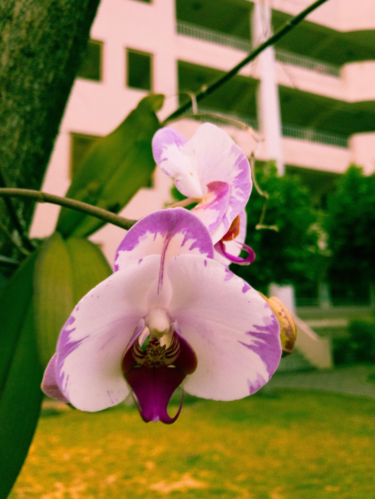 Phalaenopsis on the tree.... Flower Fragility Beauty In Nature Growth Petal Nature Flower Head Freshness Pink Color Focus On Foreground Close-up No People Plant Day Outdoors Blooming