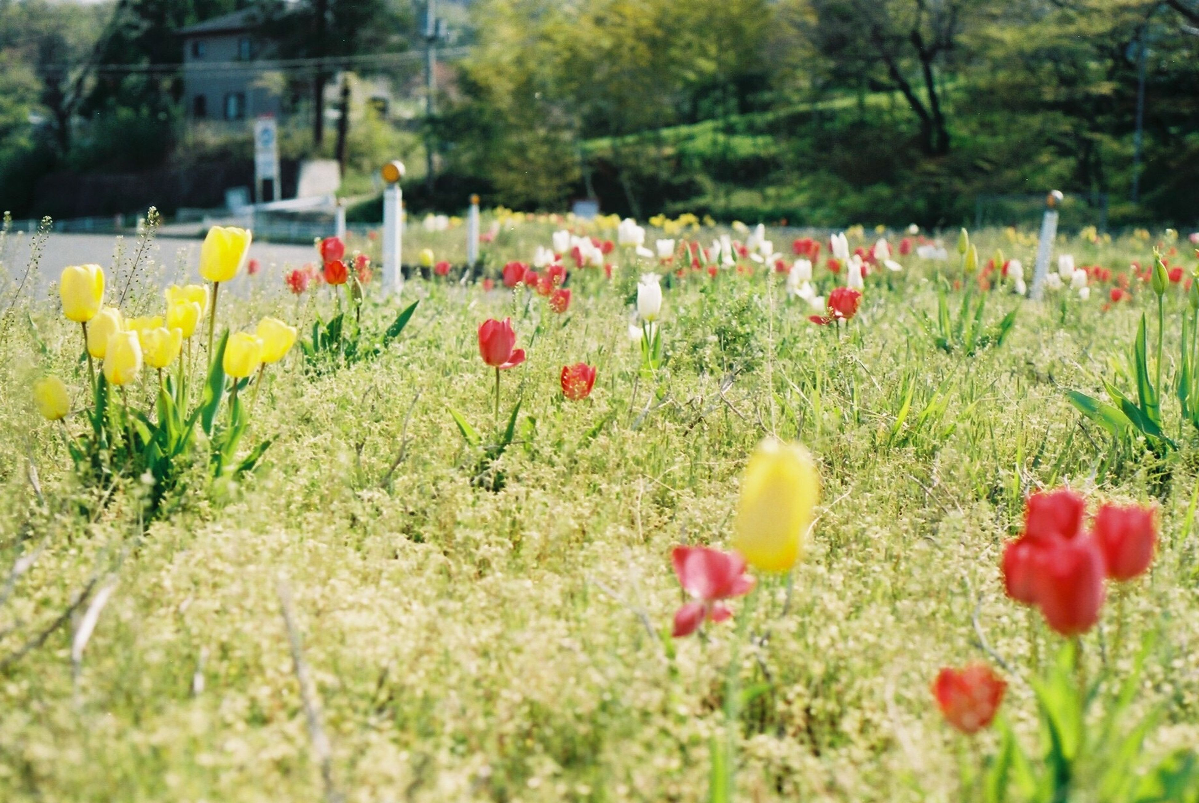 flower, freshness, growth, field, fragility, beauty in nature, petal, tulip, blooming, nature, plant, grass, flower head, stem, in bloom, focus on foreground, landscape, tranquility, flowerbed, multi colored