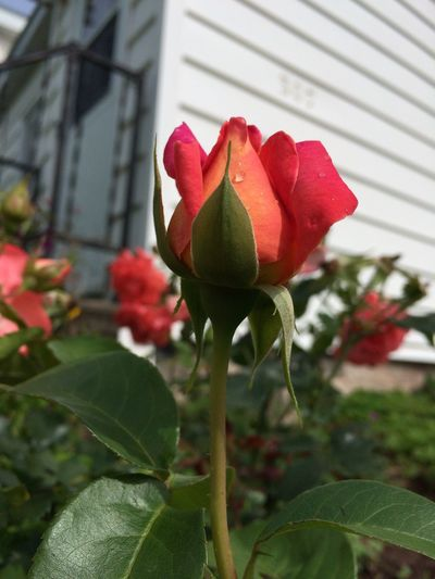 Two varieties of the Peace Rose... a lovely scent! Beauty In Nature Blooming Close-up Day Flower Flower Head Fragility Freshness Growth Nature No People Outdoors Peace Rose Petal Plant Rose Orange Rose Pink
