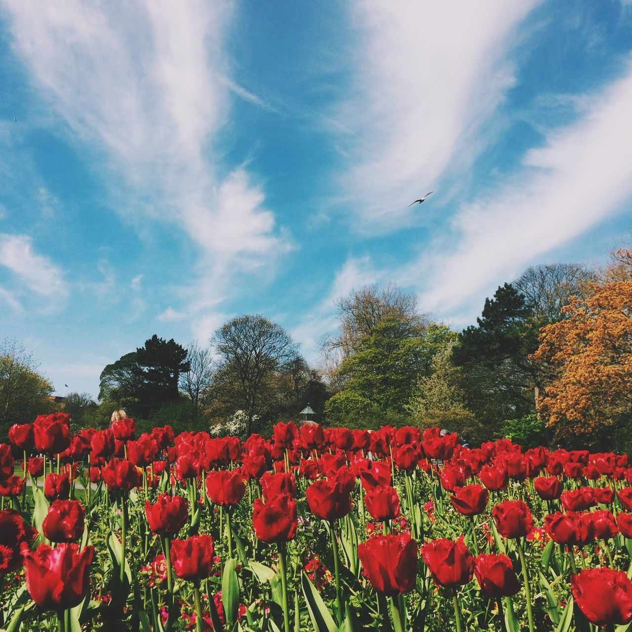 Beautiful stock photos of tulip, Beauty In Nature, Botany, Cloud, Cloudy