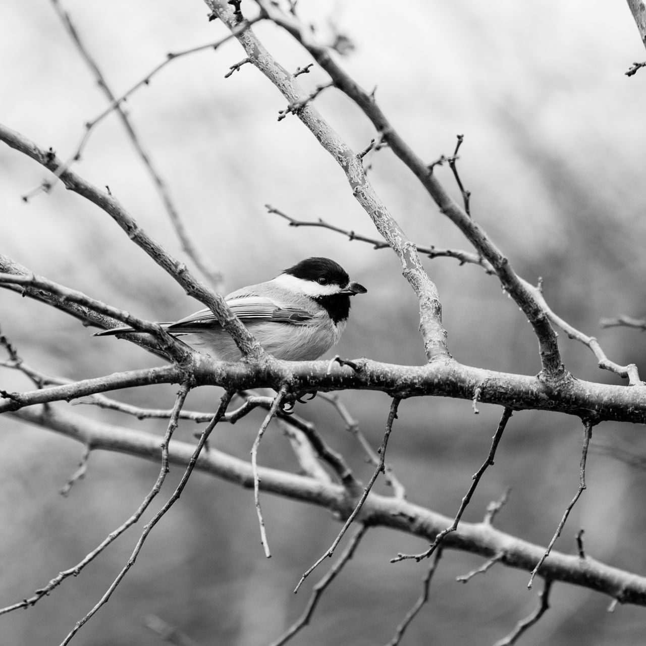 ©Amy Boyle Photography Animal Themes Animal Wildlife Animals In The Wild Bare Tree Beauty In Nature Bird Black And White Photography Branch Chickadee Day Nature Nature Photography No People One Animal Outdoors Perching Sky Tree
