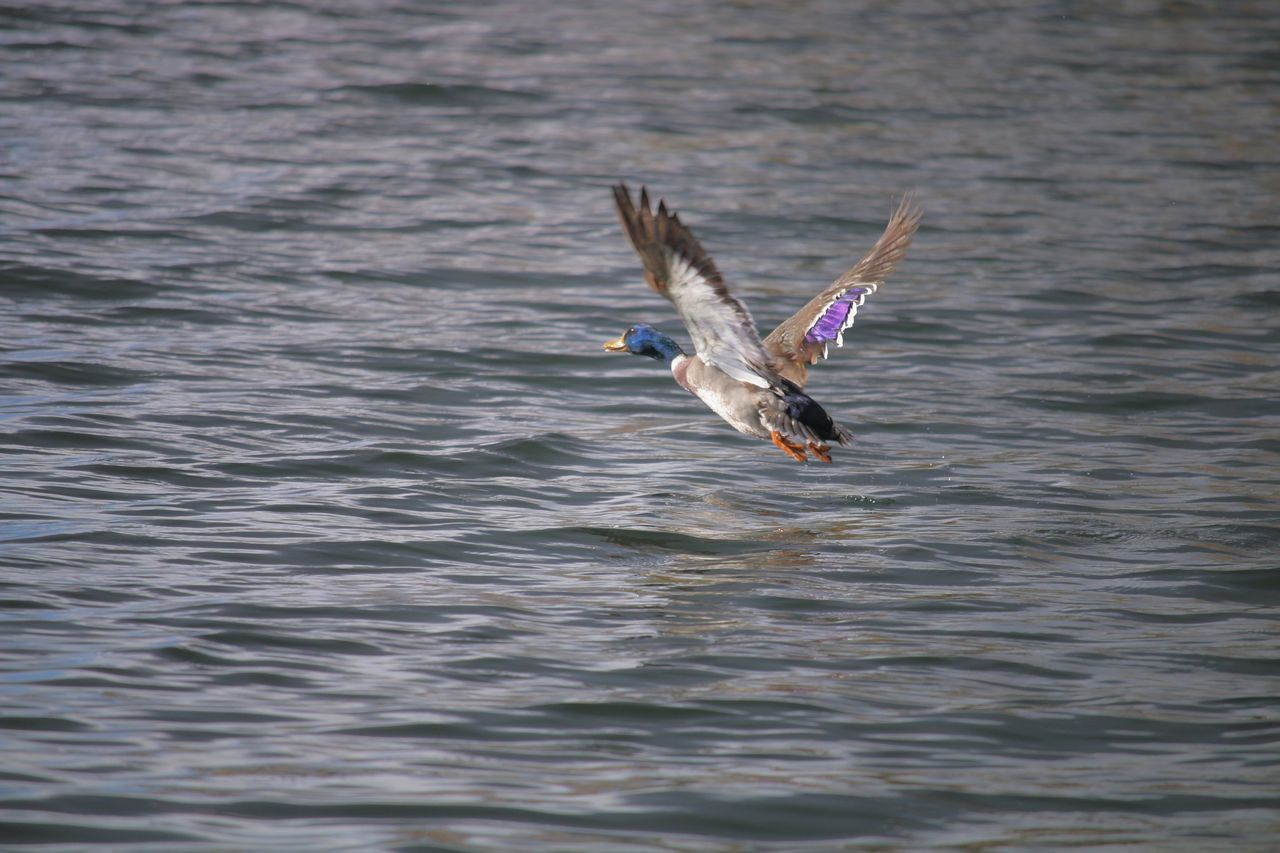 spread wings, bird, one animal, waterfront, animals in the wild, lake, animal themes, water, flying, mid-air, animal wildlife, nature, flapping, no people, day, motion, outdoors, bird of prey