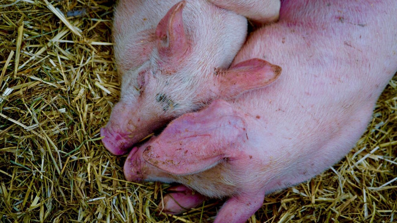 Millennial Pink Pig Livestock Domestic Animals Piglet Animal Themes Young Animal Mammal High Angle View Animal Body Part Animal Pen No People Grass Barn Nature Close-up Day love