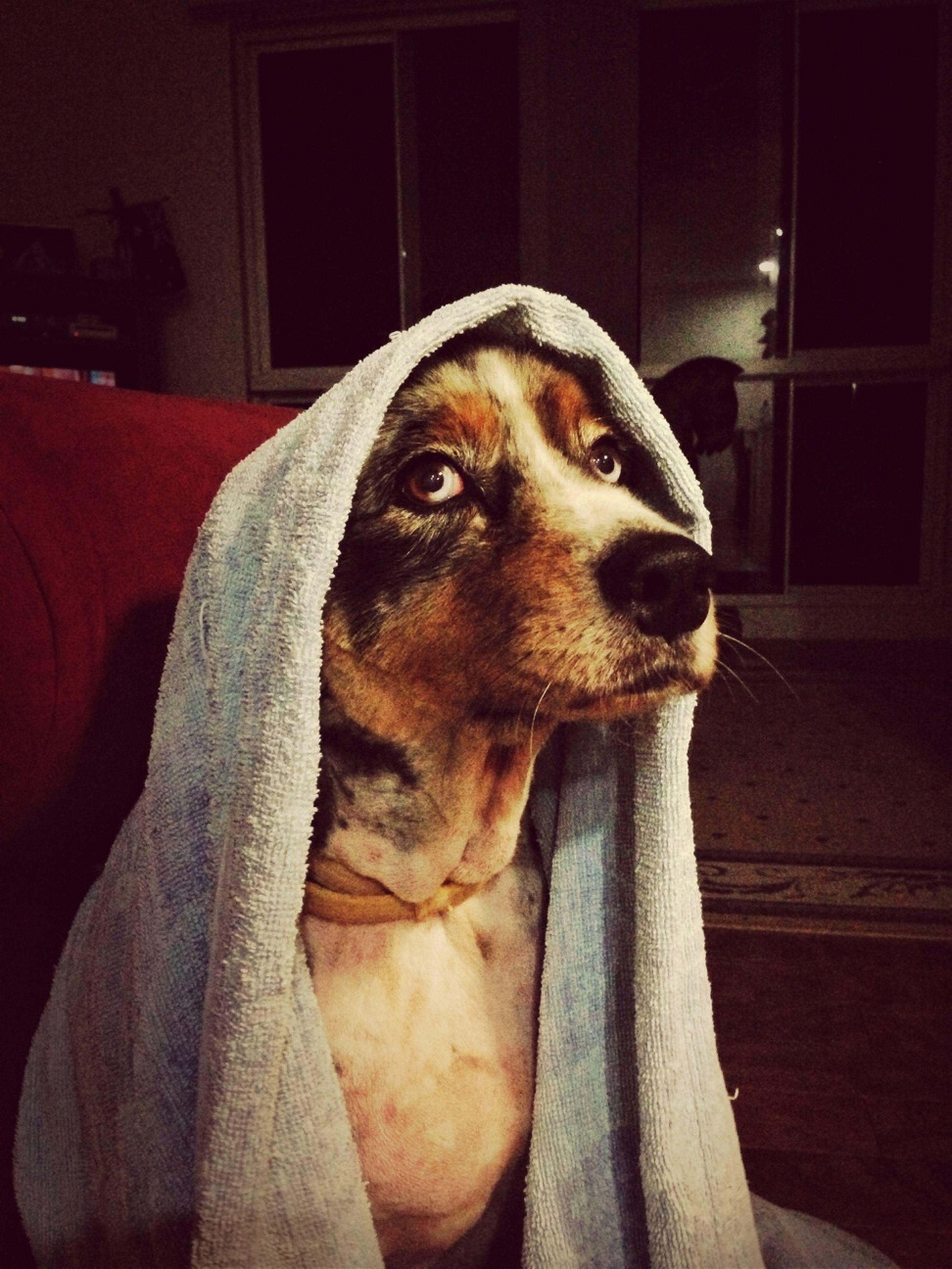 Unimpressed Covering Up A Bad Haircut... Aussie Shepherd My Dog Koda