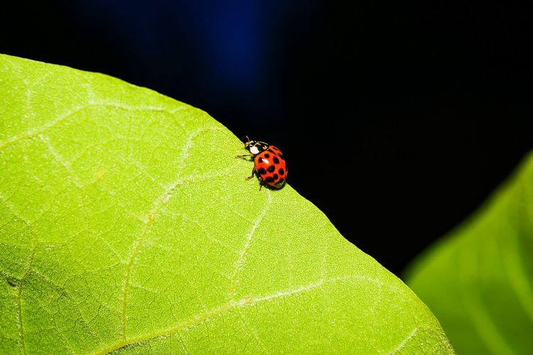 Ladybug at Insect Leaf Animals In The Wildnightfall Animal Themes Nature Green Color Togetherness Animal Wildlife Close-up No People Red Day Outdoors Beauty In Nature Ladybug Fragility EyeEm Selects