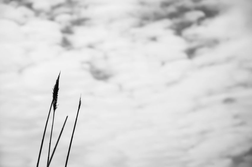 B&w B&W Collection B&w Nature B&w Photography Beauty In Nature Black & White Black And White Blackandwhite Day EyeEm Nature Lover Growth Minimal Minimalism Minimalobsession Nature Nature_collection No People Outdoors Plant Sky Sky And Clouds