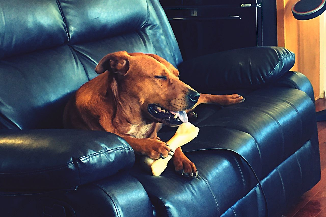 dog, sofa, pets, animal themes, domestic animals, mammal, one animal, relaxation, indoors, brown, comfortable, home interior, vehicle seat, no people, day