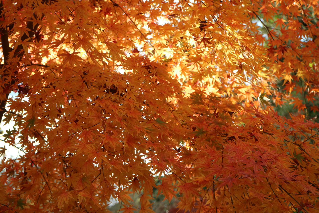 autumn, leaf, change, nature, tree, maple leaf, maple tree, beauty in nature, environment, outdoors, growth, no people, full frame, low angle view, day, close-up, maple, backgrounds, branch
