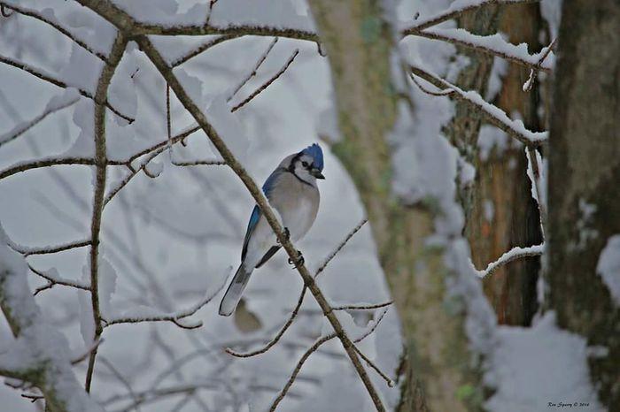 EyeEm Birds Bluejay EyeEm Nature Lover Winter Bird Snow Birds
