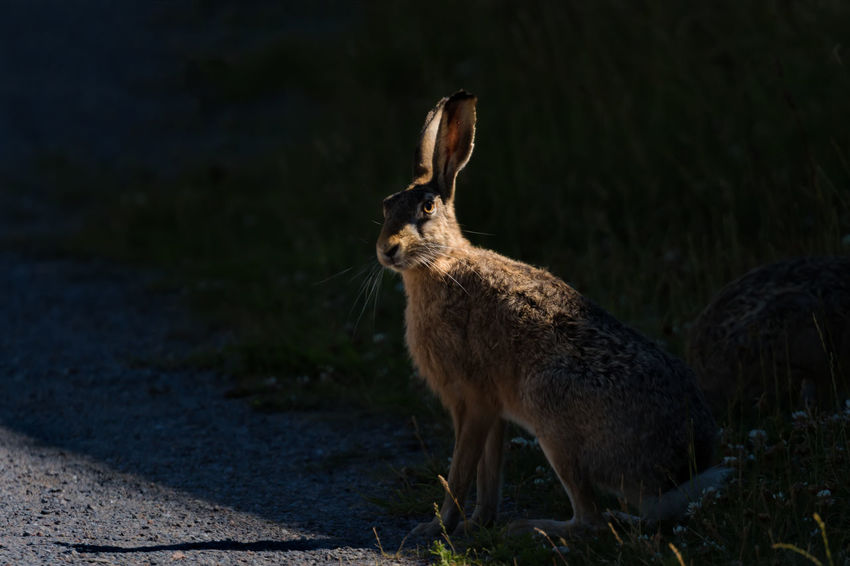 Hares or wild rabbits in the city of Stockholm Animal Wildlife City Close-up Hare Mammal No People One Animal Outdoors Rabbit Shade Side Lighting Wild Animals In The City