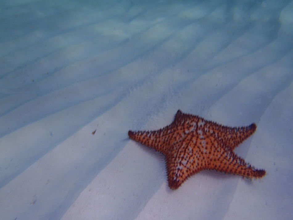 Animal Themes Animals In The Wild Close-up Nature No People One Animal Outdoors Sand Sea Life Starfish  Starfish At Beach UnderSea Underwater Water