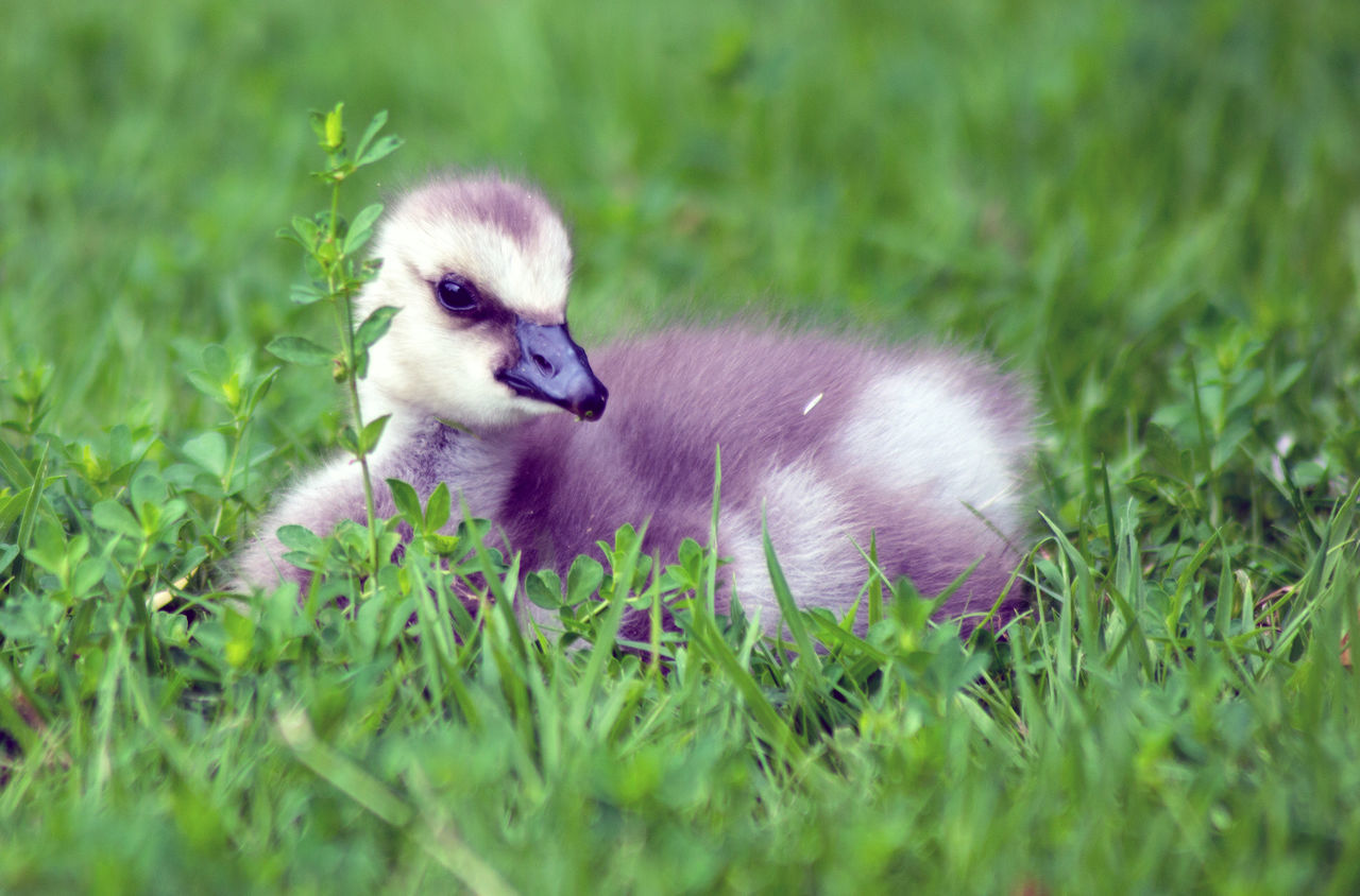 grass, green color, field, nature, animal themes, growth, no people, bird, outdoors, day, close-up, mammal