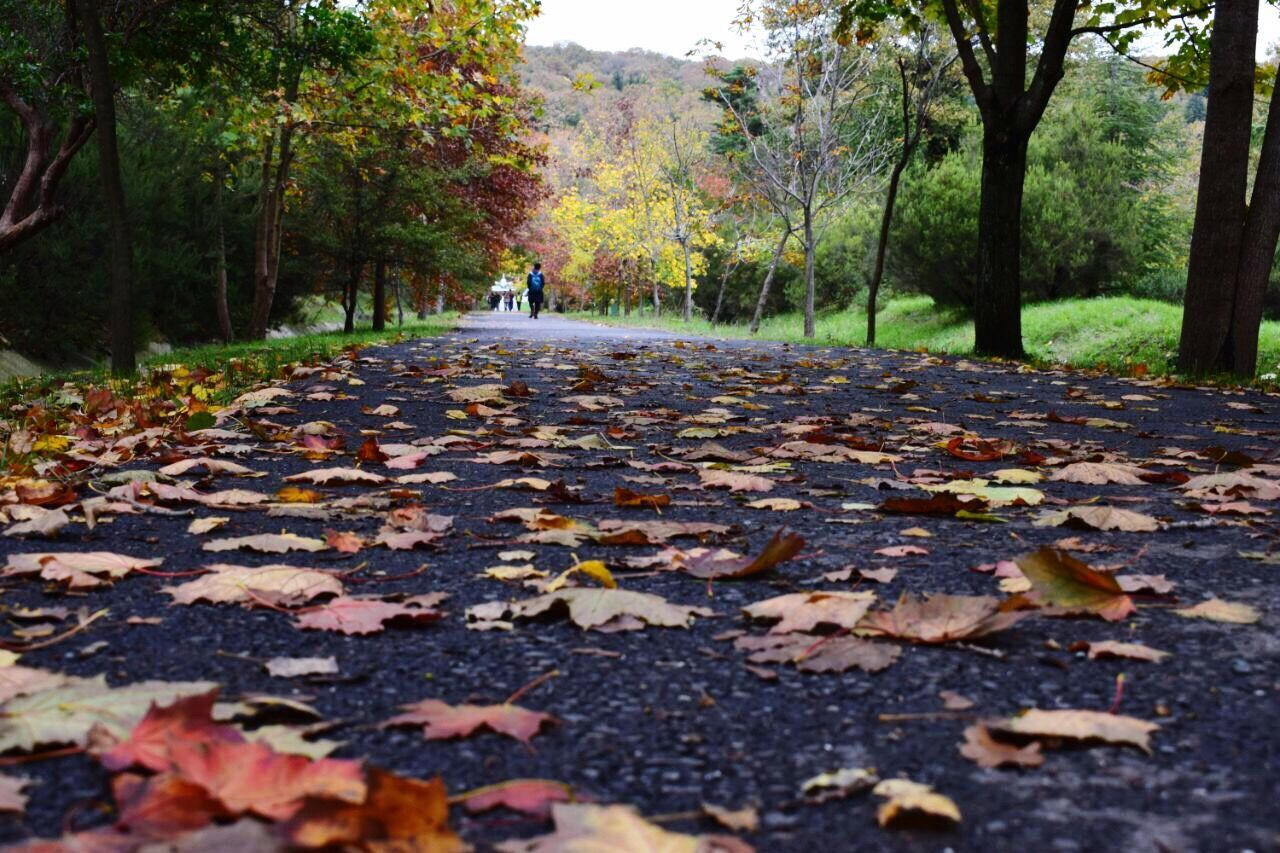 autumn, change, leaf, tree, nature, leaves, fallen, dry, beauty in nature, tranquility, day, outdoors, forest, park - man made space, the way forward, scenics, walking, real people, maple leaf, tree trunk, pets, maple, growth, full length, animal themes