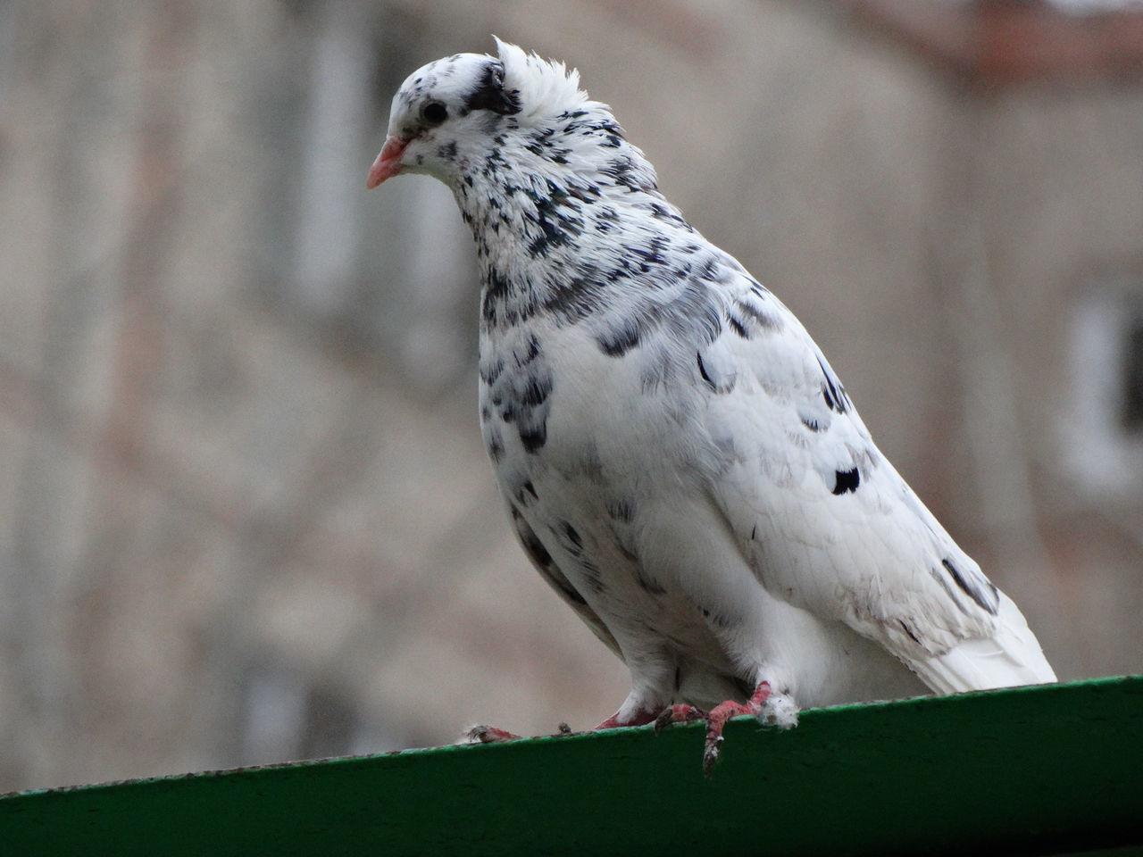 Beautiful stock photos of friedenstaube, Animal Themes, Animal Wildlife, Animals In The Wild, Bird