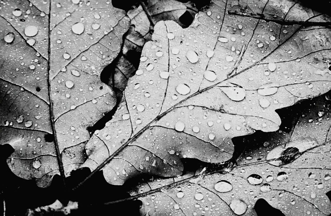 leaf, autumn, water, drop, day, nature, wet, weather, outdoors, change, close-up, no people, maple, maple leaf, fragility, beauty in nature
