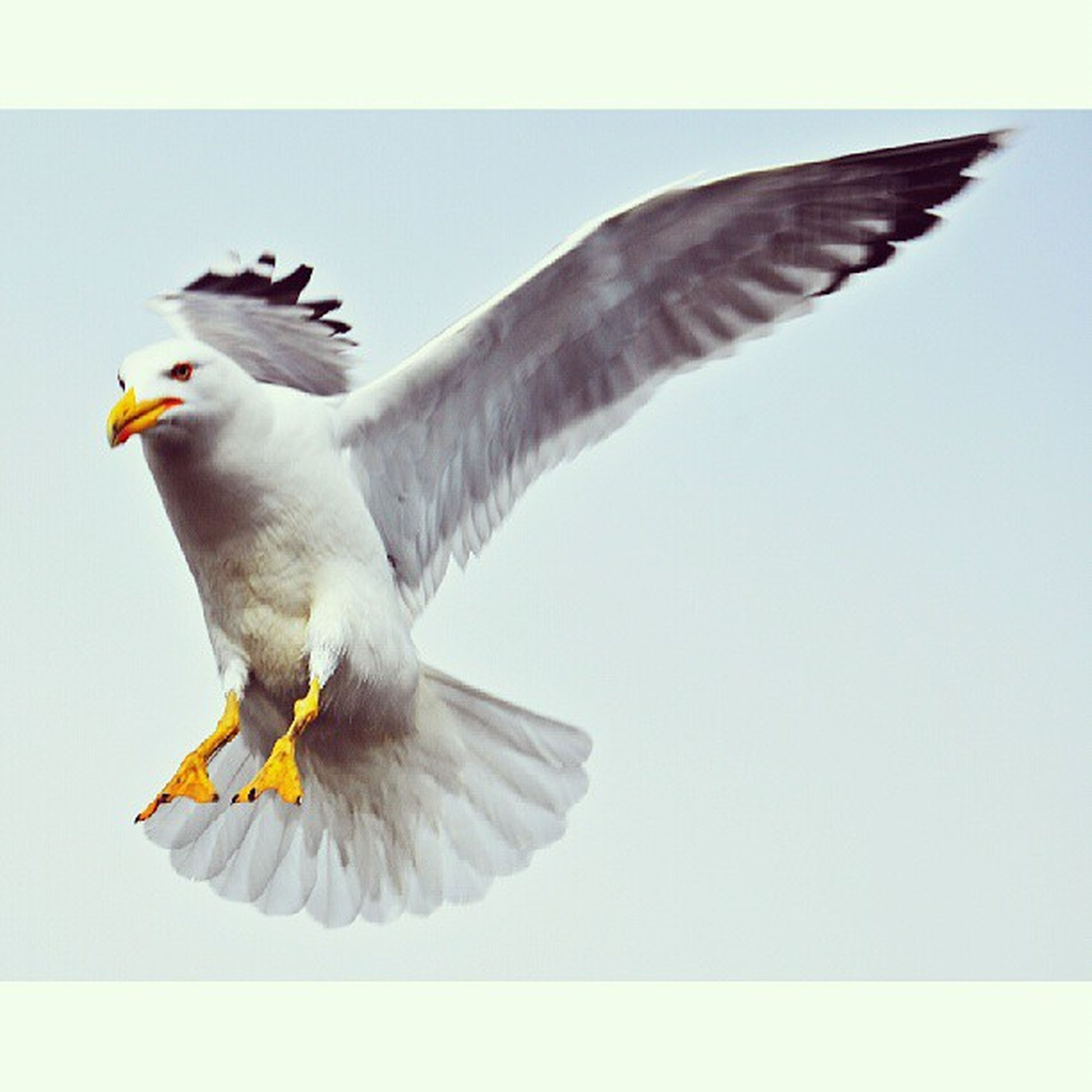 bird, flying, animal themes, animals in the wild, spread wings, wildlife, transfer print, mid-air, one animal, low angle view, auto post production filter, seagull, clear sky, full length, motion, blue, zoology, animal wing, flight, two animals