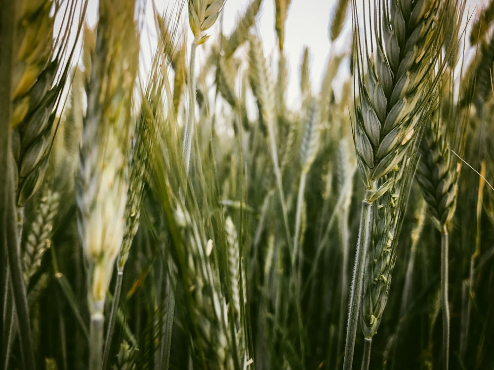 Wheat field Agriculture Backgrounds Barley Beauty In Nature Cereal Plant Close-up Crop  Cultivated Land Day Ear Of Wheat Farm Field Food Freshness Full Frame Grass Growth Nature No People Outdoors Plant Rural Scene Rye - Grain Wheat Wholegrain