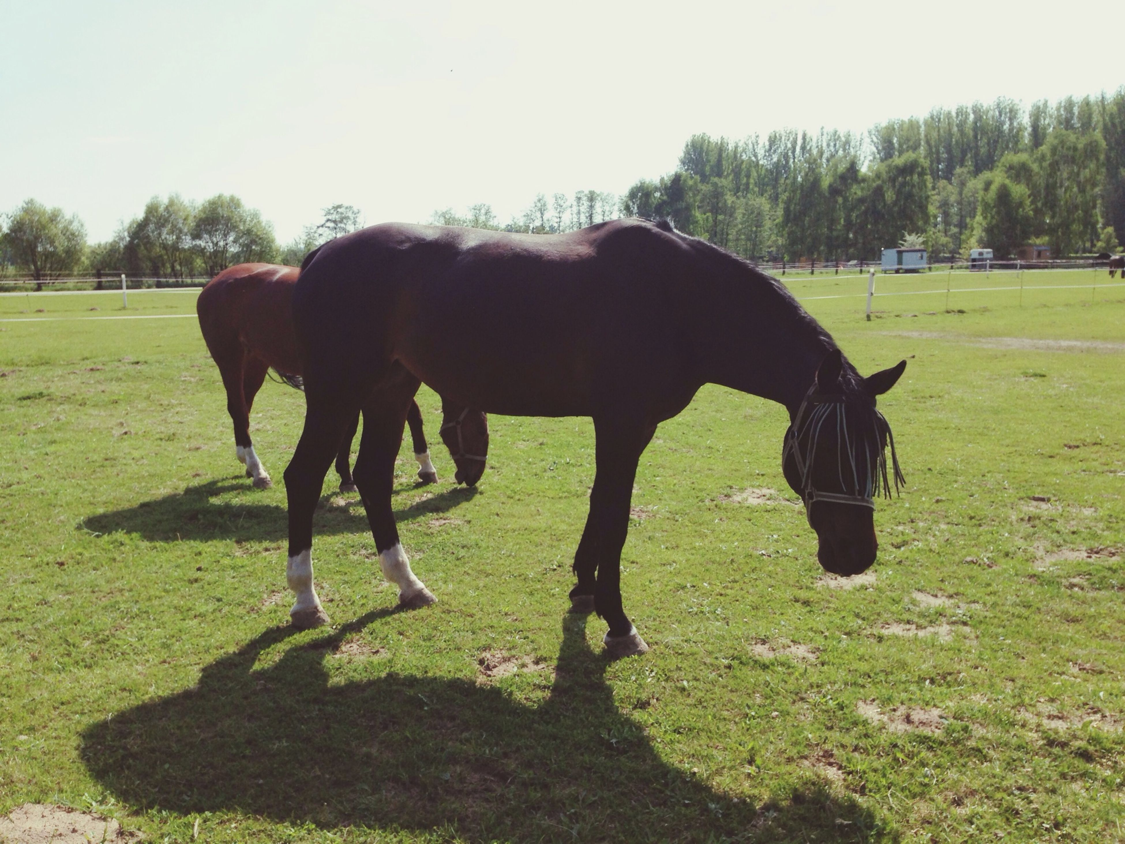 domestic animals, animal themes, grass, horse, mammal, field, full length, grassy, one animal, two animals, livestock, standing, green color, working animal, pets, tree, side view, day, sunlight, nature