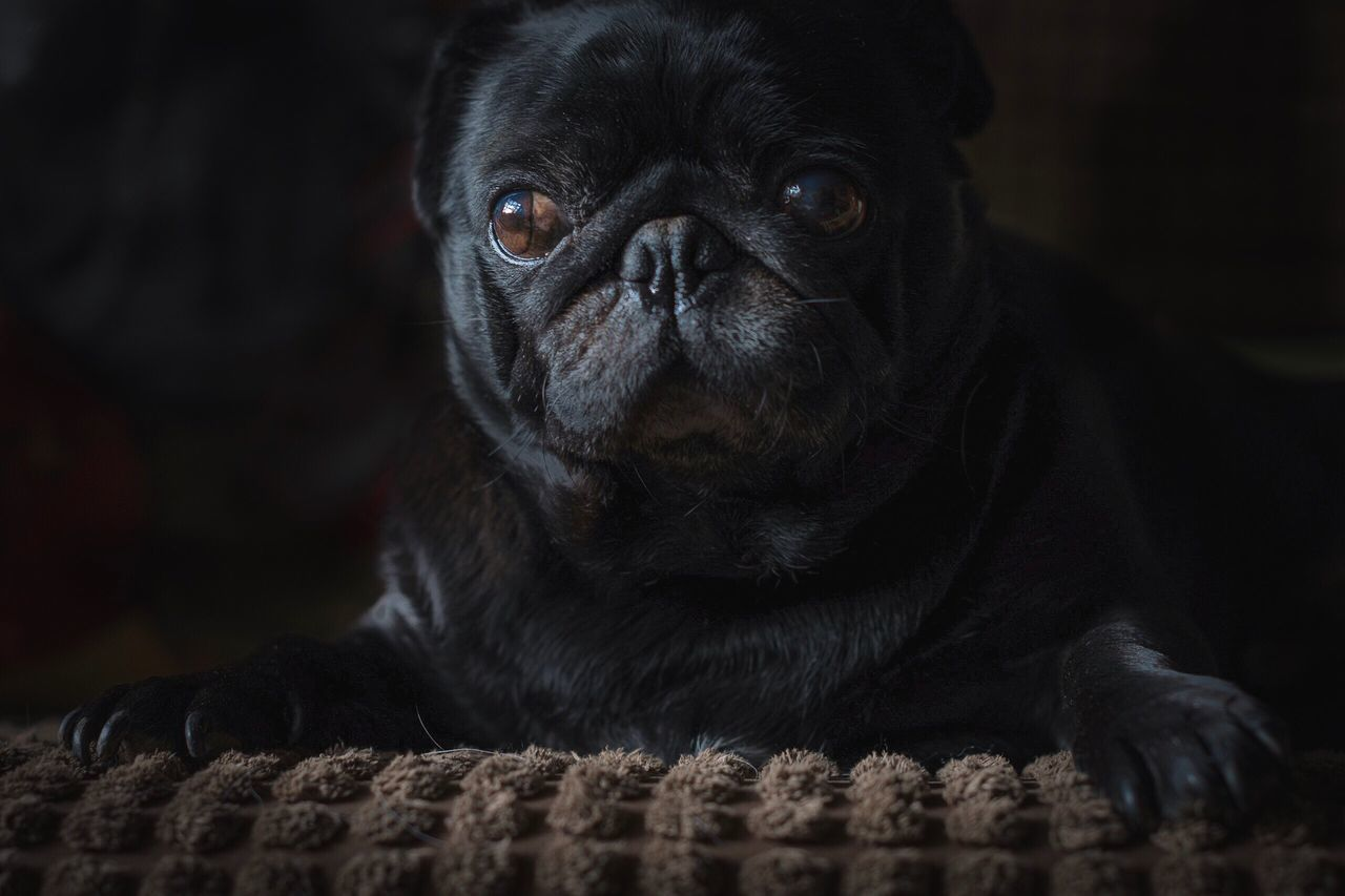 Jabba chilling out Pets Animal Themes One Animal Pug Black Color Dog No People Close-up Mammal Indoors  Day Creative Light And Shadow Black Pug Pug Pet Photography  Pets Corner Dog Love Dogs Of EyeEm Brown Eyes High Key Portrait Dog Portrait