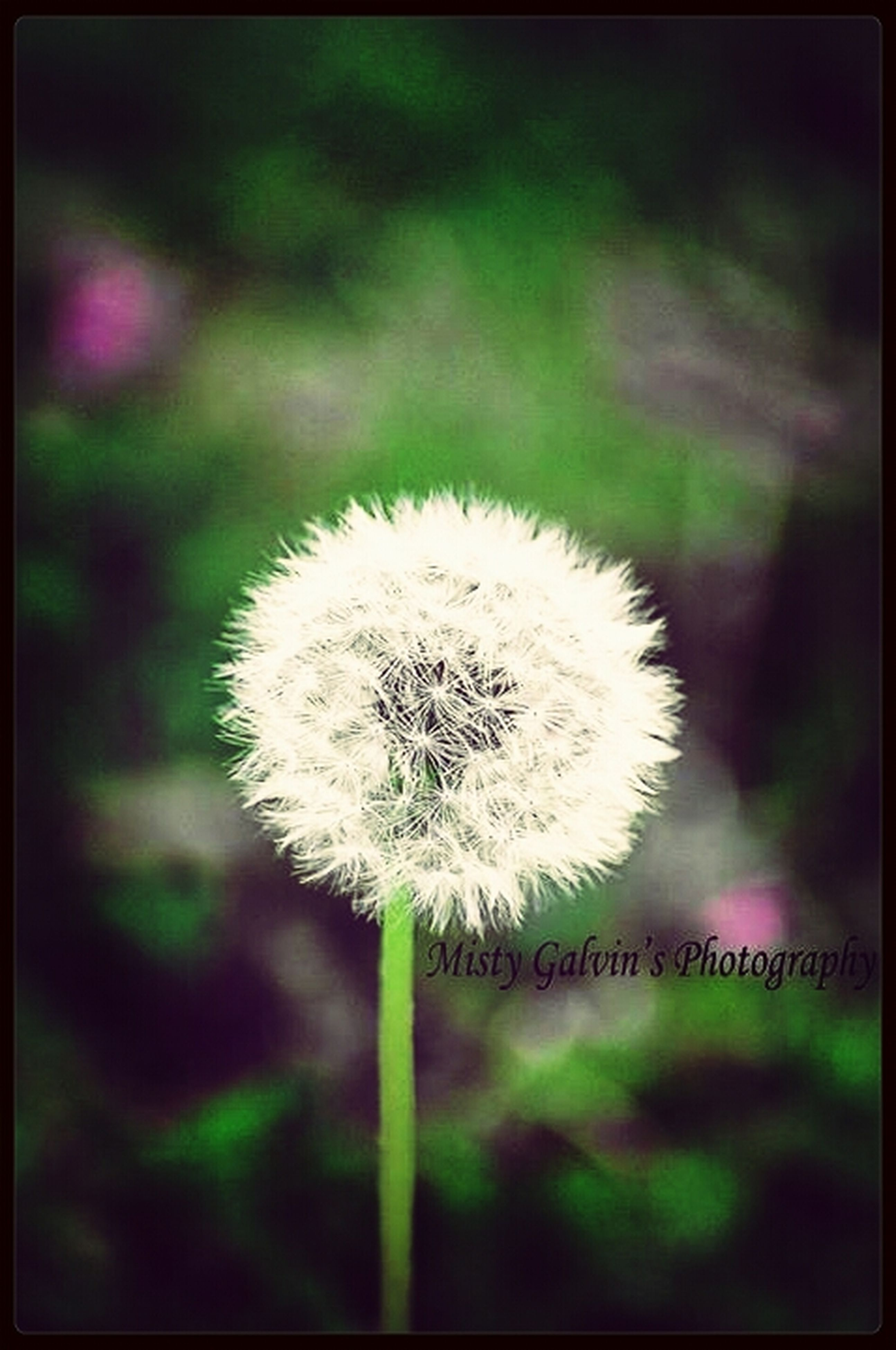 dandelion, flower, fragility, growth, freshness, flower head, focus on foreground, close-up, nature, single flower, beauty in nature, stem, softness, uncultivated, wildflower, white color, plant, dandelion seed, field, day