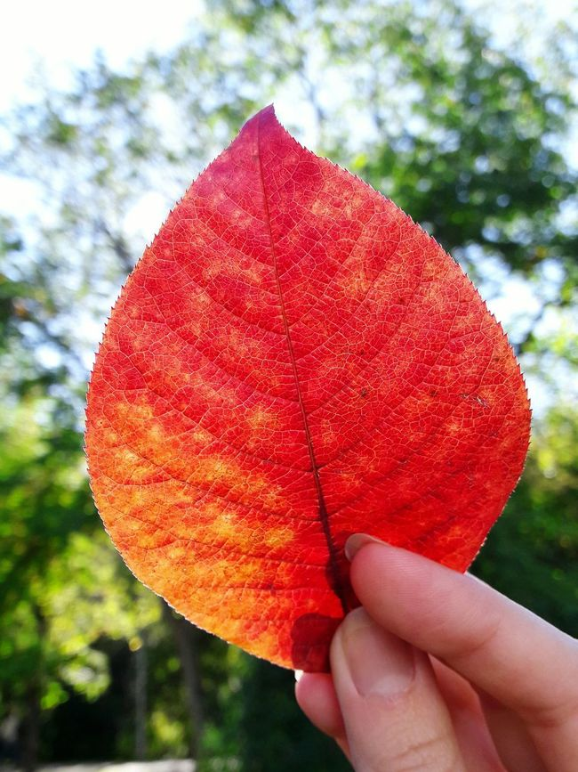 A really beautiful leaf. The fall in my fingertips. Leafporn Leaf Autumn Colors Autumn Collection Autumn Leaf Autumn🍁🍁🍁 My Hand