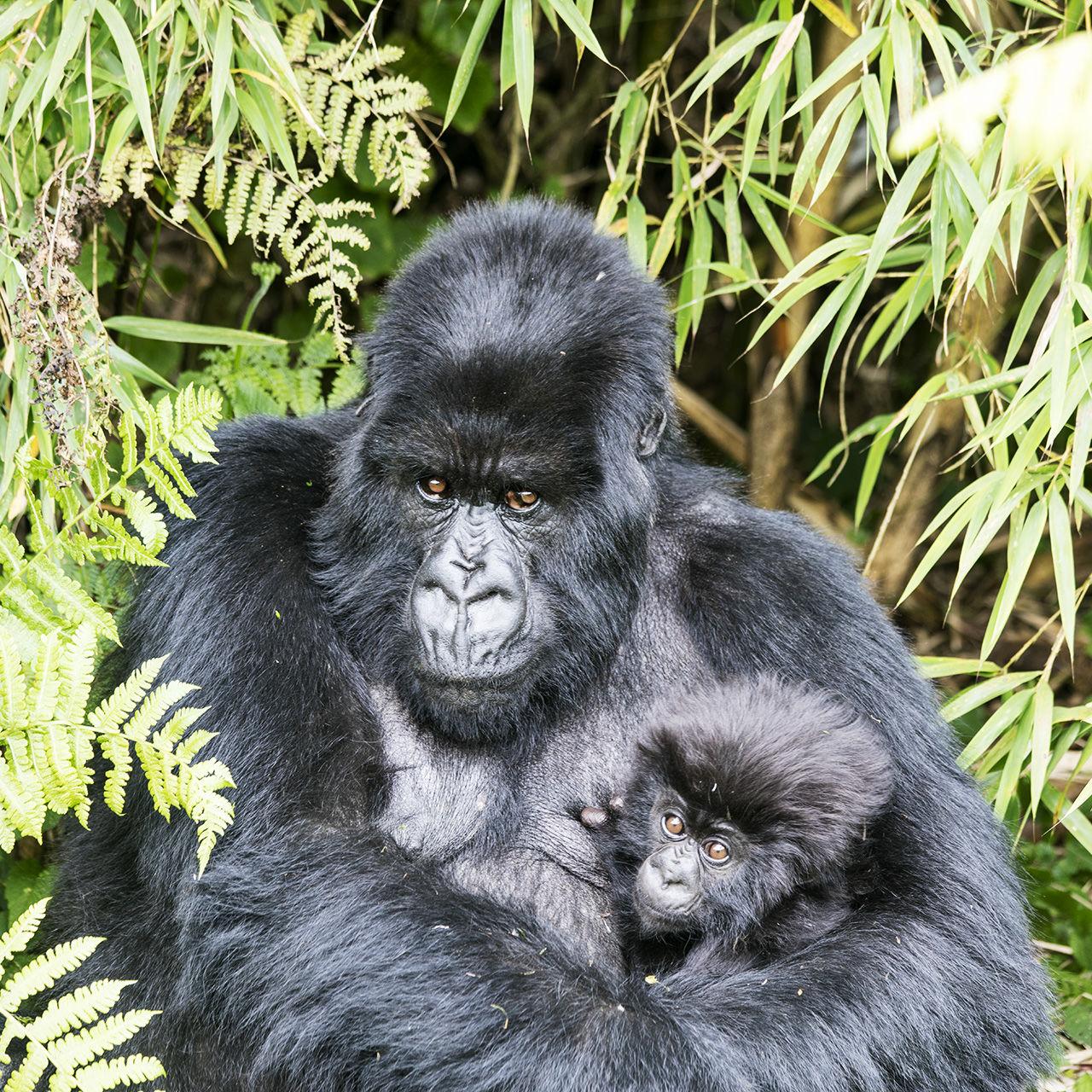 Mountain Gorillas in Volcanoes National Park in Rwanda Showcase: November