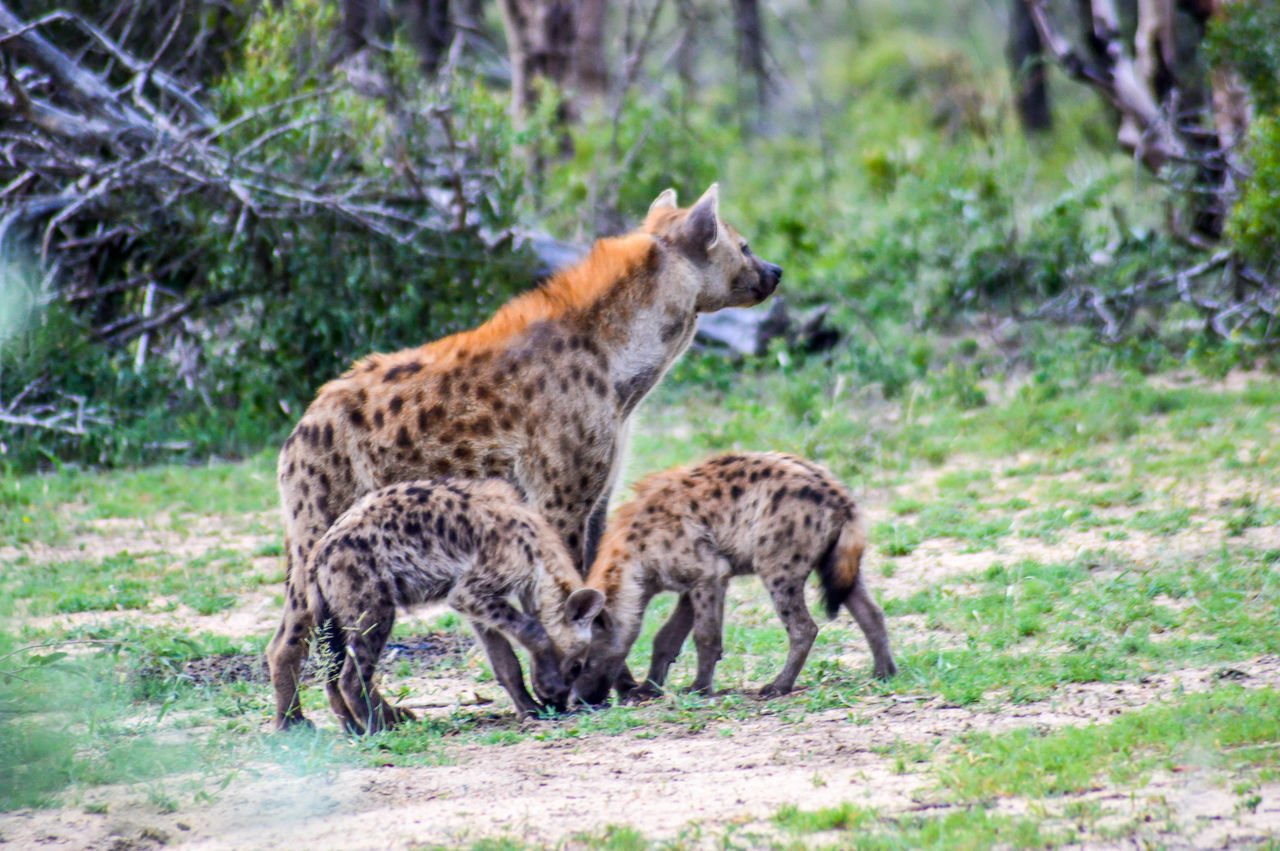 Hyena mother and cubs African Animals Animal Themes Cubs  Hyena Hyena Clan Hyenas Kruger Park Krüger National Park  South Africa Wildlife Wildlife & Nature Wildlife Photography